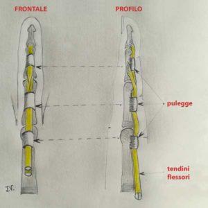Anatomia dei tendini flessori e delle pulegge del dito.