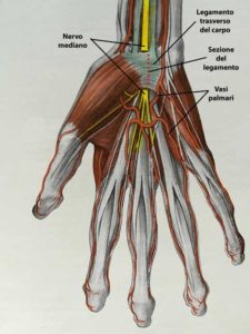 Anatomia del tunnel carpale con il nervo mediano e il legamento trasverso.